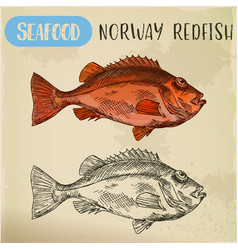Norway redfish sketch for shop signboard vector