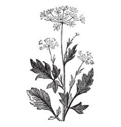 Pimpinella vintage engraving vector image