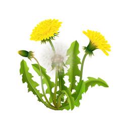 dandelion bush realistic isolated vector image