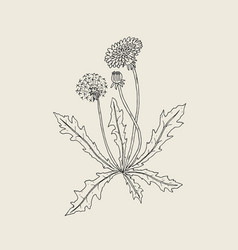 Elegant outline drawing of dandelion plant with vector