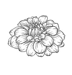 black and white dahlia flower isolated on vector image