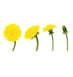 Stages closing flower dandelion isolated vector