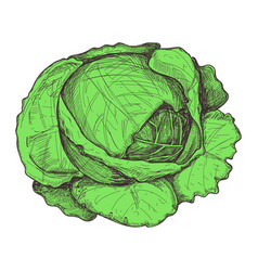 Fresh cabbage hand drawn isolated icon vector