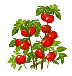 growth and ripening tomato plants isolated on vector image