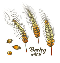 color designed barley wheat spike and seed set vector image
