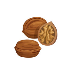 Brown walnut with edible kernel whole and cut vector
