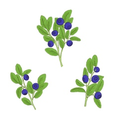 Set blueberry twigs with berries vector image