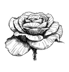 hand drawing of rose flower in bloom vector image