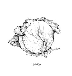 Hand drawn of cabbage on a white background vector