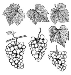 set of hand drawn grape design elements for vector image vector image