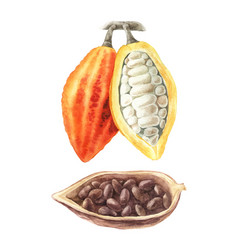 watercolor of cocoa beans vector image vector image