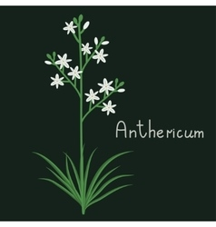 Anthericum plant iilustration vector image