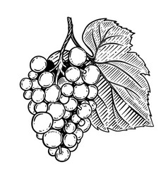 grape in engraving style isolated on white vector image vector image
