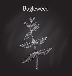 Bugleweed lycopus europaeus or gypsywort water vector