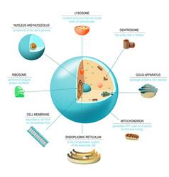 Cell anatomy vector