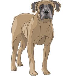 Dog boerboel vector