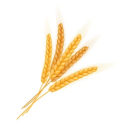 Realistic isolated bundle of wheat ears vector
