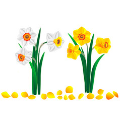 Set beautiful bouquets yellow and white daff vector