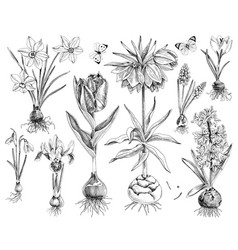hnand drawn spring bulbous flowers vector image