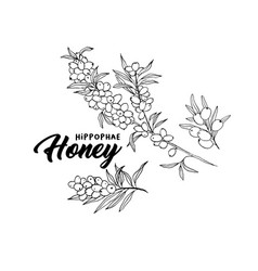 sea buckthorn branches hand drawn sketch vector image