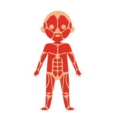 boy body anatomy with muscular system vector image