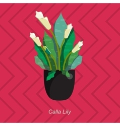 flat of indoor homeplant calla vector image