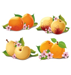 set of ripe apricots vector image