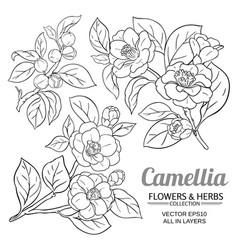 camellia plant set on white background vector image