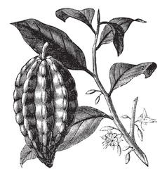 Cacao tree vintage engraving vector image vector image