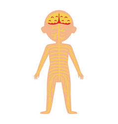 Boy body anatomy with nervous system vector