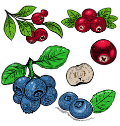 Hand drawn blueberry purple berries and red vector