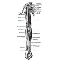 Muscles on front arm and forearm vector