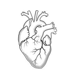 Heart internal human organ anatomical vector