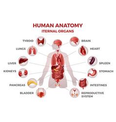 human internal organs man body anatomy medical vector image