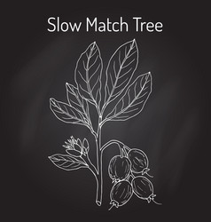 slow match tree careya arborea medicinal plant vector image