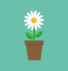 white daisy chamomile in pot cute flower plant vector image