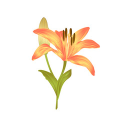 Yellow lily a yellow flower and bud with leaves vector
