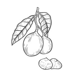 macadamia nut oil vector image vector image