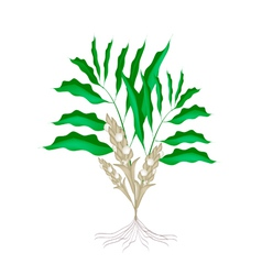 A Fresh Cardamon Plant on White Background vector
