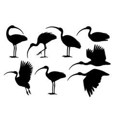 black silhouette set american white ibis flat vector image