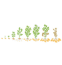 Crop stages of potato growing vector