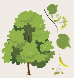 linden tree vector image