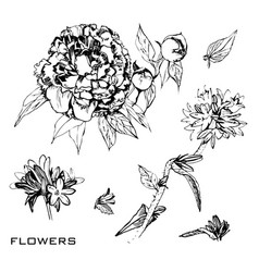 drawing ink botanical summer vector image