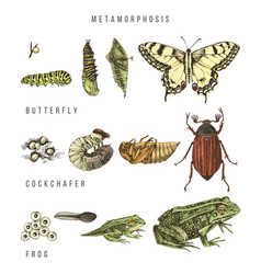 Metamorphosis swallowtail cockchafer and vector