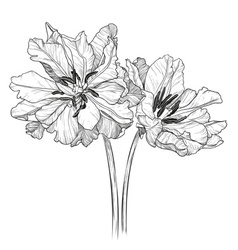 Sketch of Blooming Tulips vector