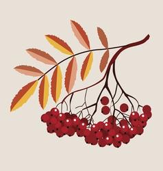 mountain ash berries vector image