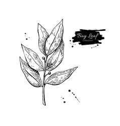 Bay leaf hand drawn Isolated vector image