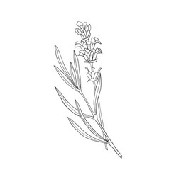 Hand drawn botanical of lavender vector
