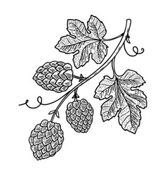 hop branch on white background design element vector image