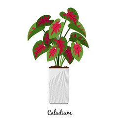Caladium plant in pot icon vector